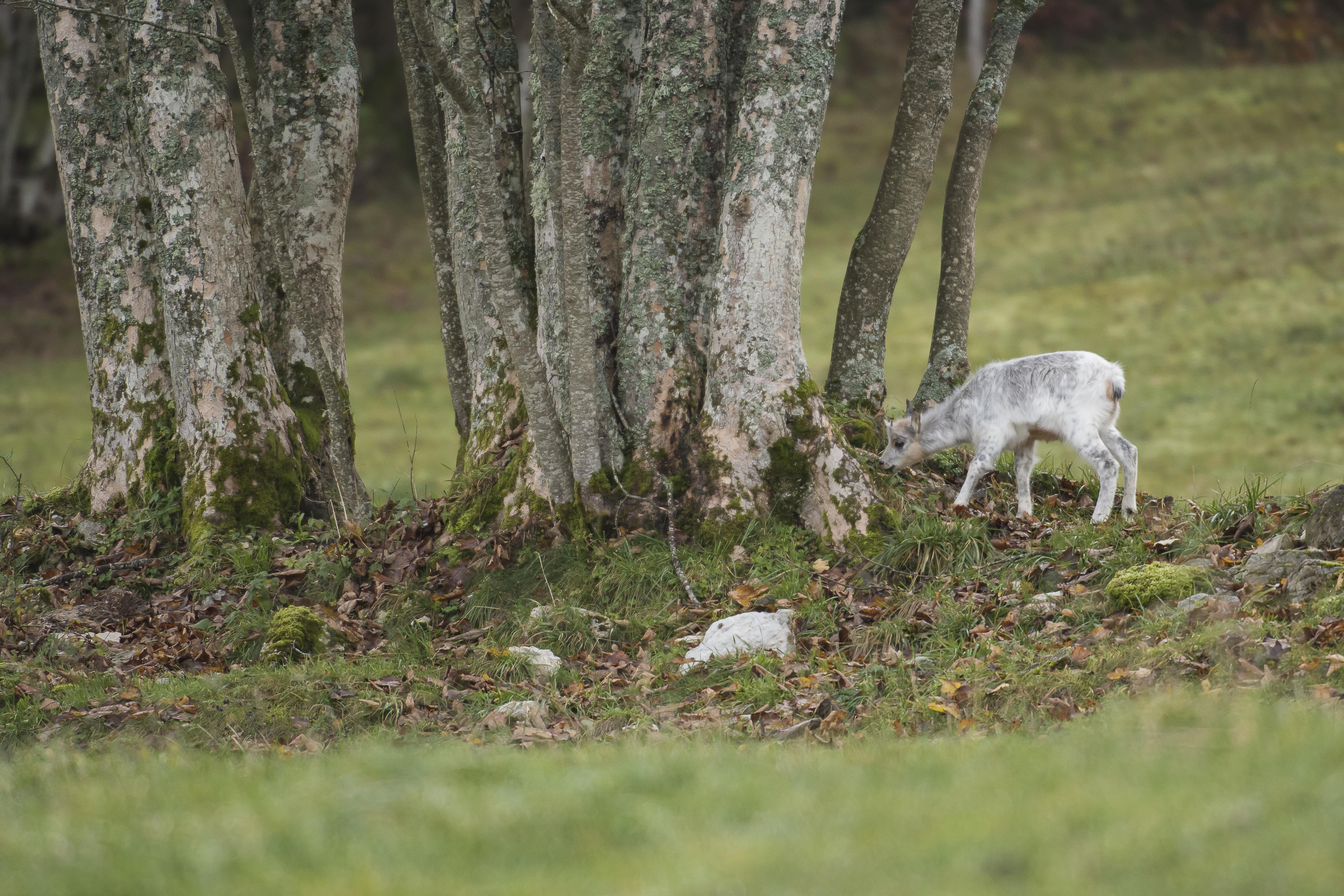 Chamois blanc *17