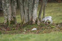 Chamois blanc