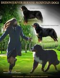 Lessard_(Bernese-Mountain-Dogs)-05-19-20