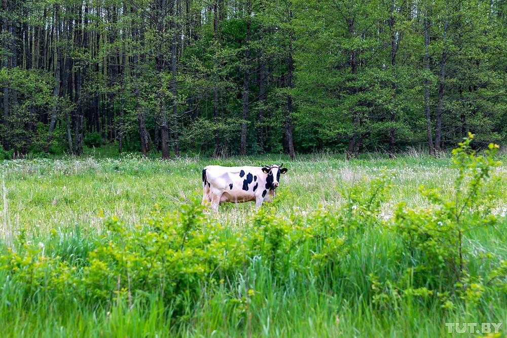 Cow in Belarus field.
