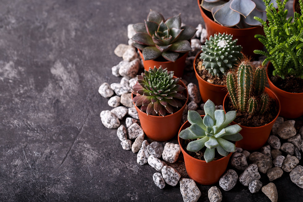Different types of small echeveria succu