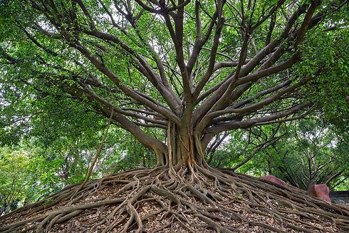 the banyan tree..jpg