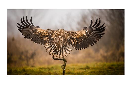 Eagle white edge