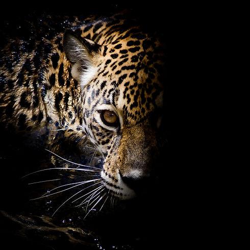 Jaguar portrait.jpg