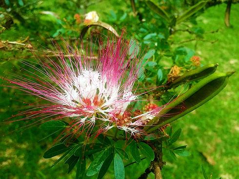 Bobinsana heart opening healing plant bl