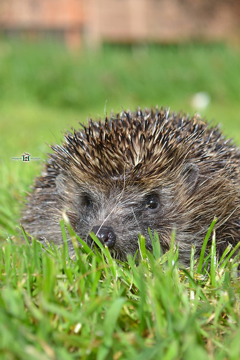 hedgehog-in-grass-field.jpg