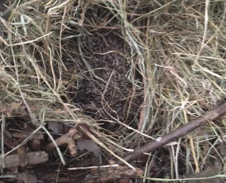 Hedgehog been released.