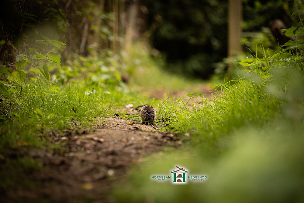 Don't let our hedgehogs walk alone :( Help them to find more hedgehog friends!