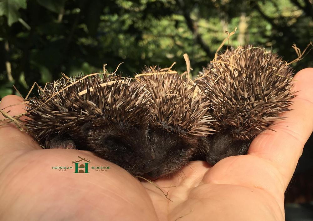 Baby hoglets in hands