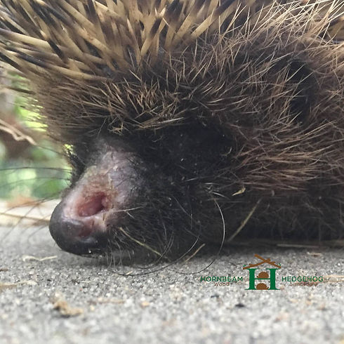 Hedgehog with a Nose Injury