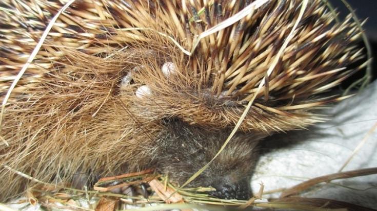 Ticks on hedgehog