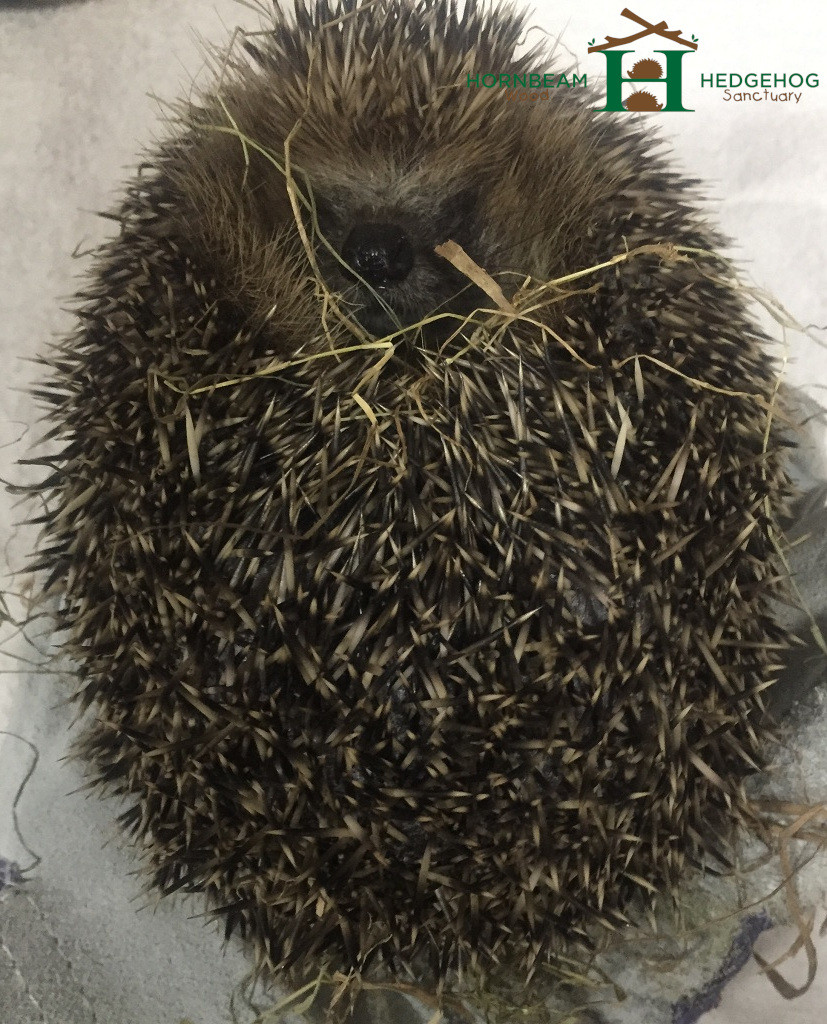 Hedgehog plump hydrated and healthy.