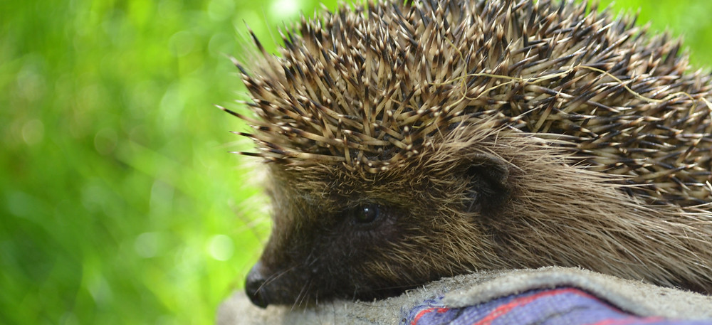 Hedgehog in hand