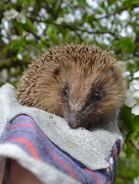 hedgehog-in-rehabilitation.jpg