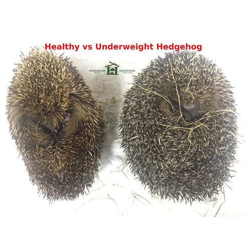 Healthy vs Underweight Hedgehog