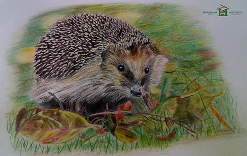 hedgehog-drawing-by-denise-southam-web-e
