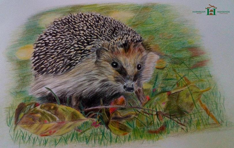 hedgehog-drawing-by-denise-southam-web-e