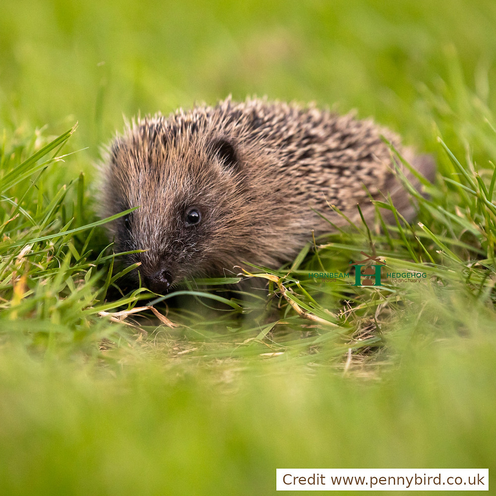 Wheathampstead to become an exemplar for a hedgehog friendly village!
