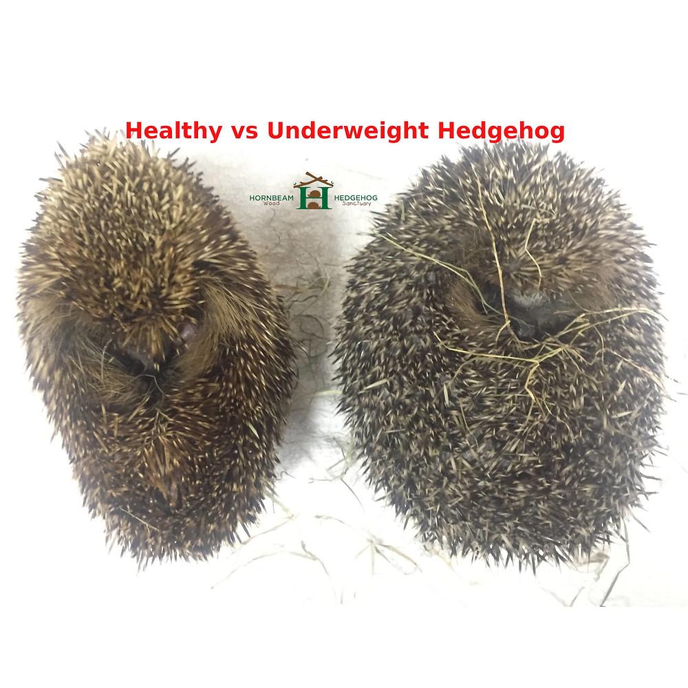 Healthy vs underweight hedgehog