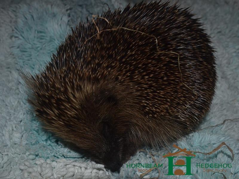 Poorly hedgehog