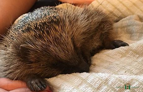 A sick hedgehog