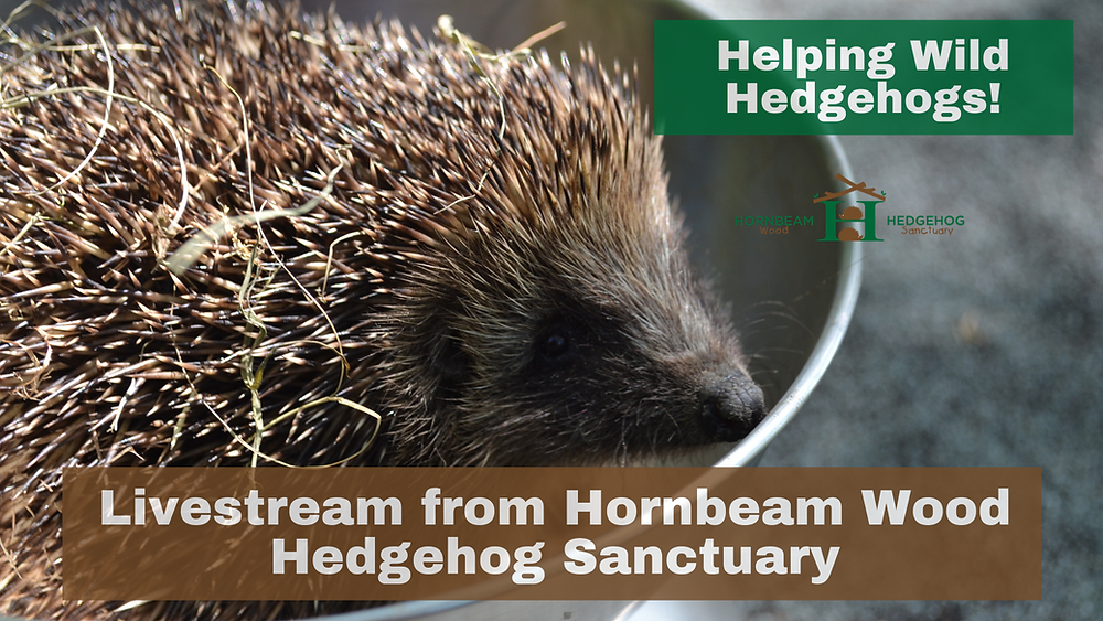 """Livestream """"Helping Wild Hedgehogs!"""" [Sat 29th May @ 2pm-2:45pm] #susfest21 - FREE EVENT!!!"""