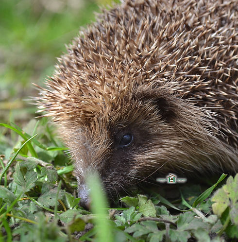 hedgehog-looking-at-you.jpg