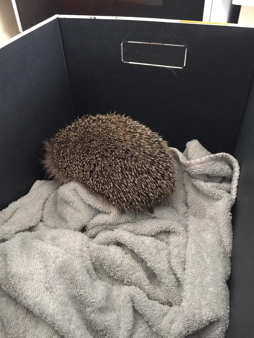 Hedgehog inside a box