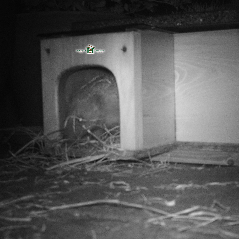 Rehabilitated Wild British Hedgehog Making a Nest in the Wild with Newspapers and Dried Hay
