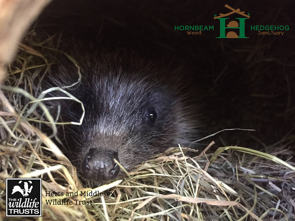 """Herts & Middlesex Wildlife Trust and Hornbeam Wood Hedgehog Sanctuary """"Discover Hedgehogs"""" Events!!!"""