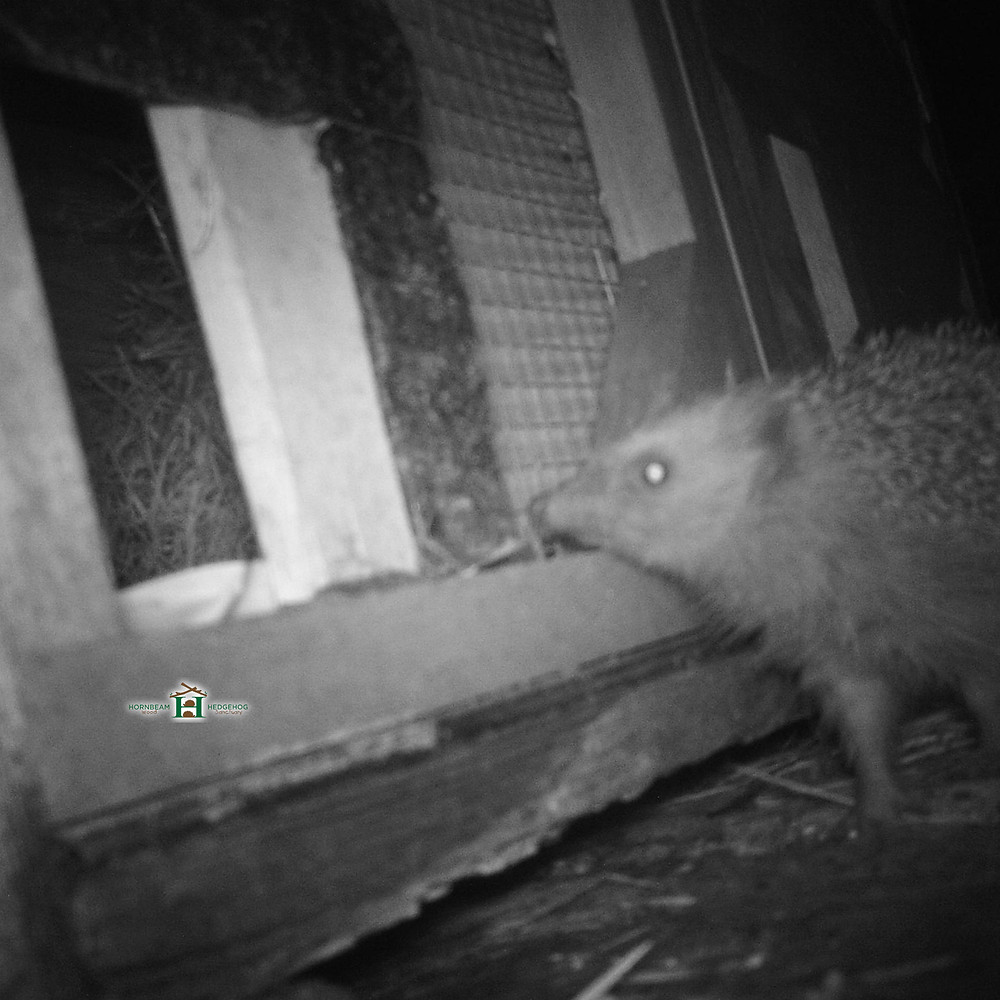 Rehabilitated Wild Hedgehog Released makes a Nest only to find someone else already lives there!