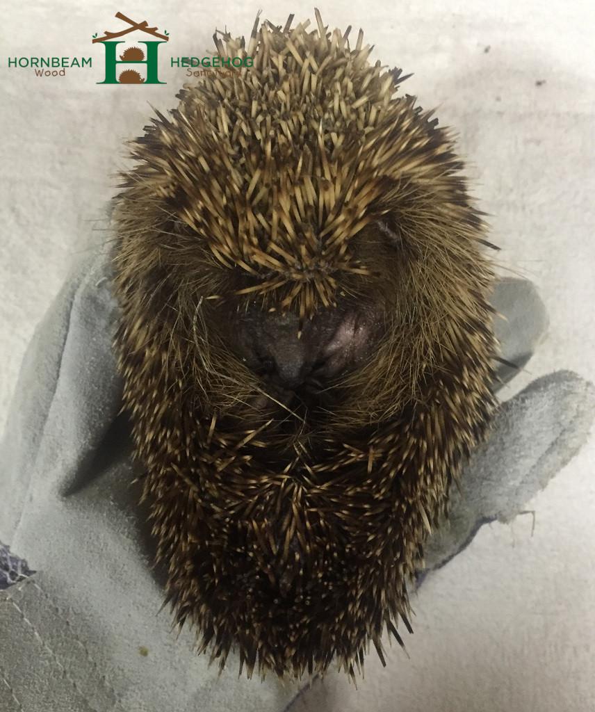 Hedgehog underweight and deydrated.