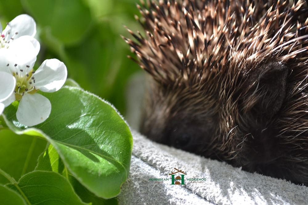 Hedgehog next to a flower