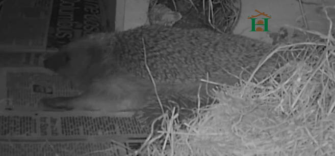 Mother on side feeding hoglets