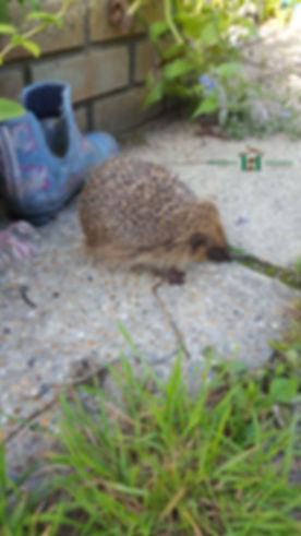 hedgehog-in-garden-02.jpg