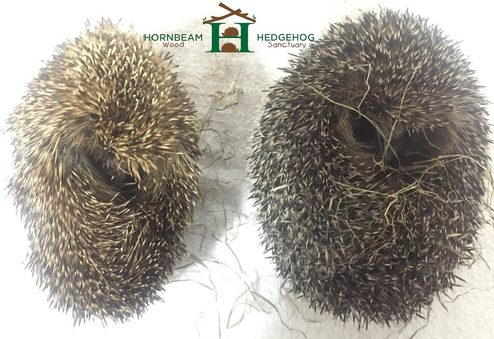 Left Hedgehog underweight and deydrated. Right hedgehog plump hydrated and healthy.