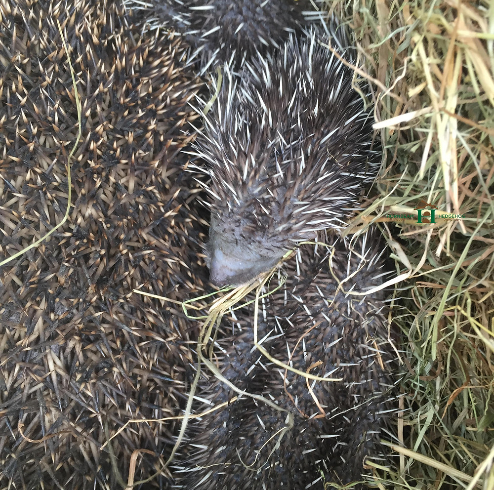 Mother in nest with hoglets