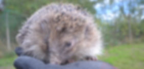 homed-hedgehog.jpg