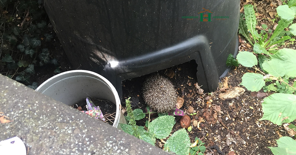Hedgehog in compost nesting