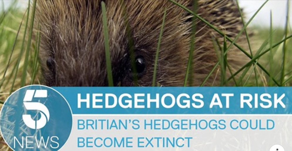 New campaign to save British hedgehogs from extinction 5 News, with Hornbeam Wood Hedgehog Sanctuary