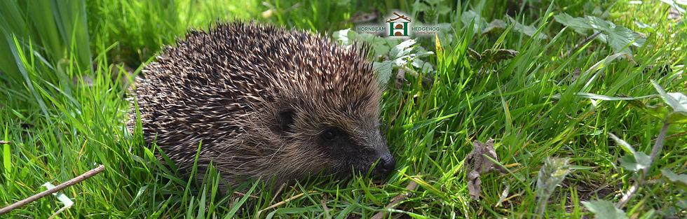 Hedgehog rescue in grass in a garden