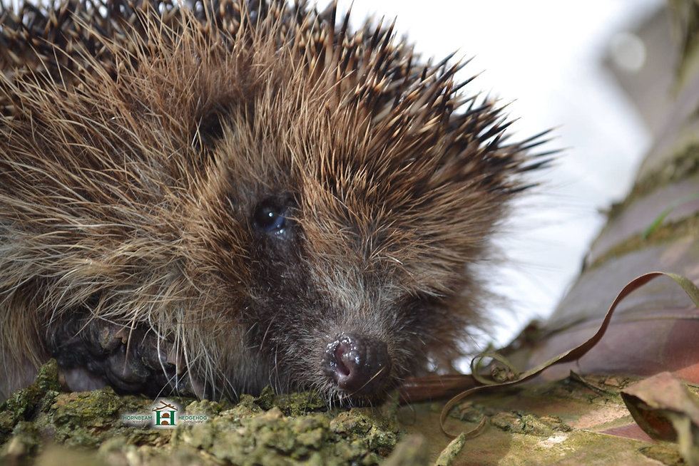 hedgehog-on-a-log.jpg