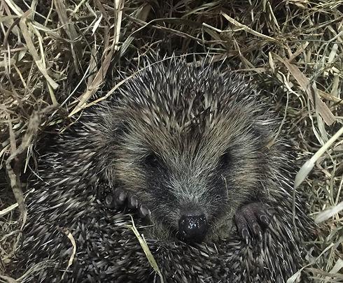 Hedgehog looking cute
