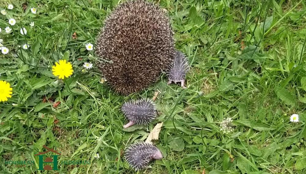 Mother hedgehog and hoglets