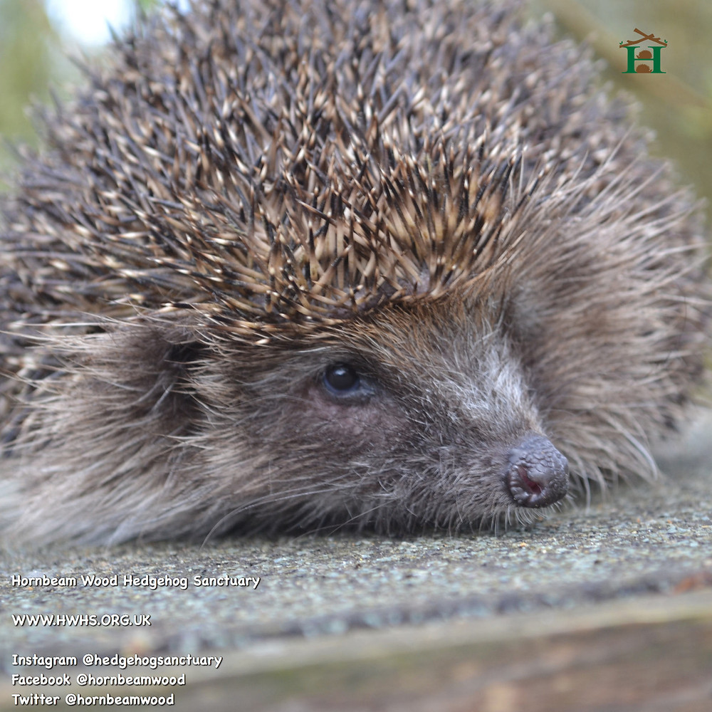 Hedgehog on a rehabilitation hutch