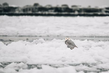 2.4.2021 Snowy Owl B.jpg