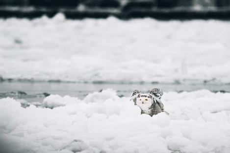 2.4.2021 Snowy Owl B-3.jpg