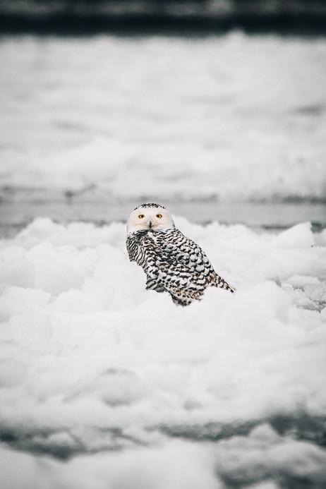 2.4.2021 Snowy Owl D.jpg