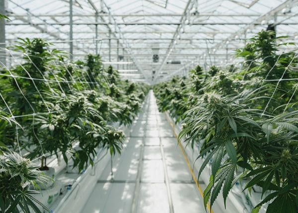 Pure Sunfarms Growing Facility