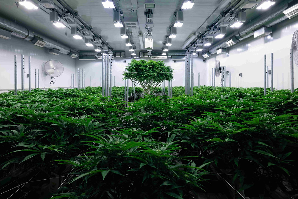 Zenabis Growing Facility
